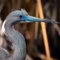 Tricolored Heron in Breeding Plumage