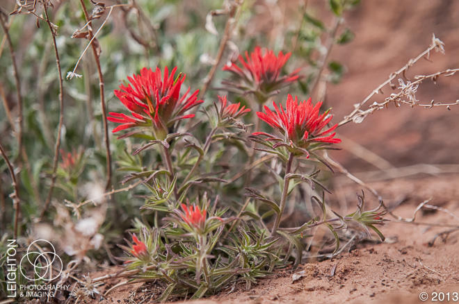 Desert Indian Paintbrush