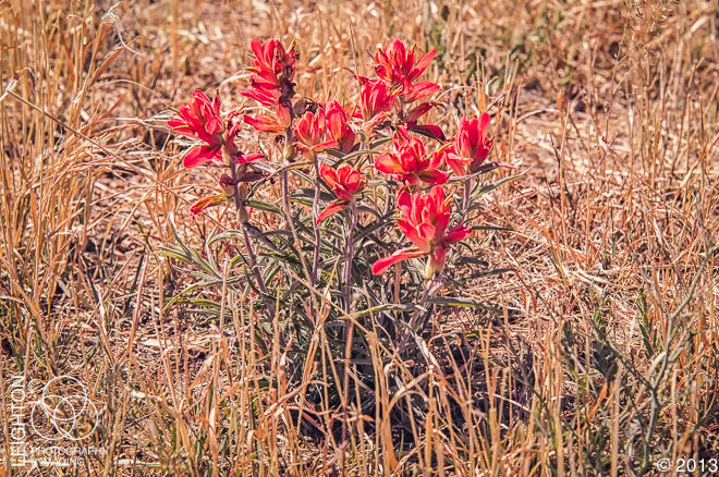 Woolly Indian Paintbrush