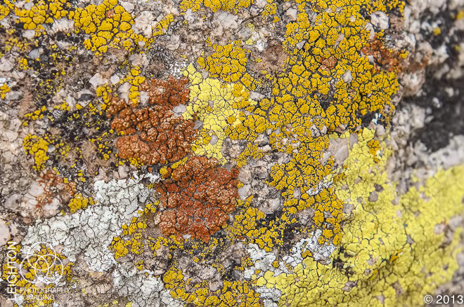 Mojave Desert Lichen Community in Joshua Tree National Park