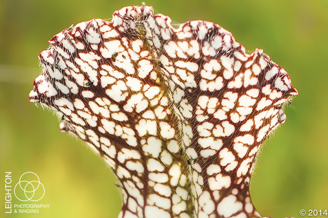 White-topped Pitcher Plant (Sarracenia leucophylla)