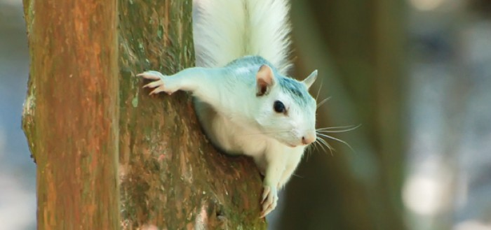 White Fox Squirrel
