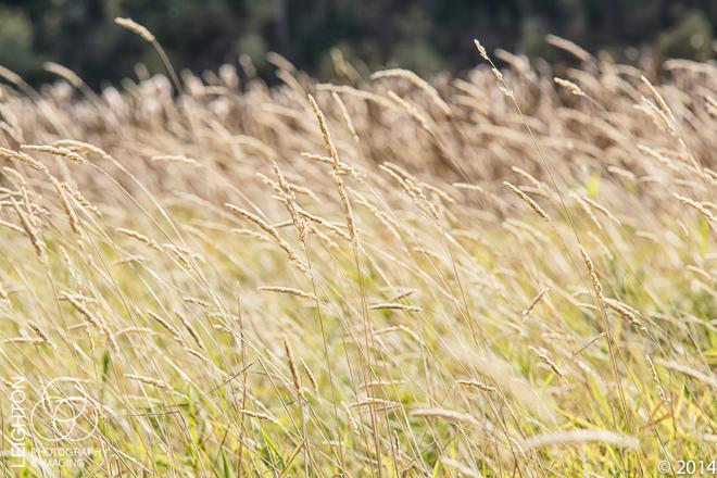 Grasses and Sedges