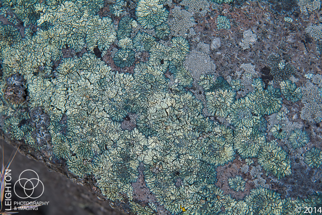 Bullseye Lichen