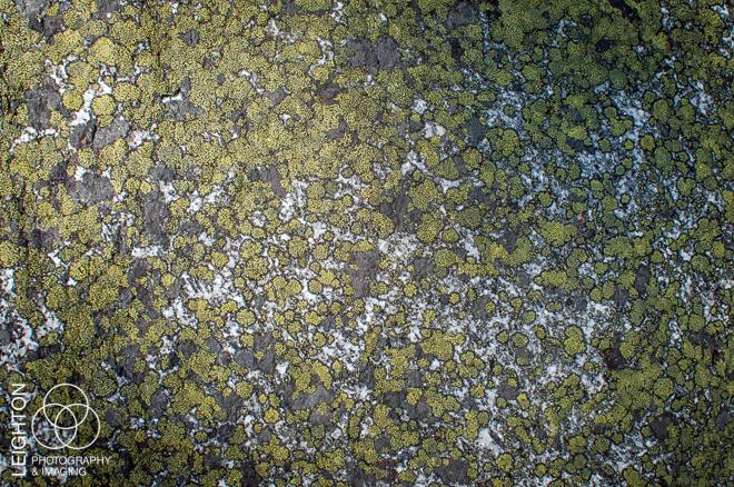 Crustose Lichens