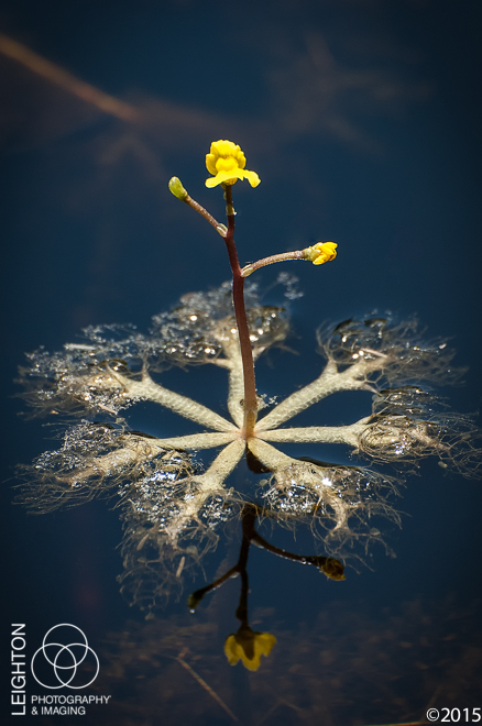 Leafy Bladderwort