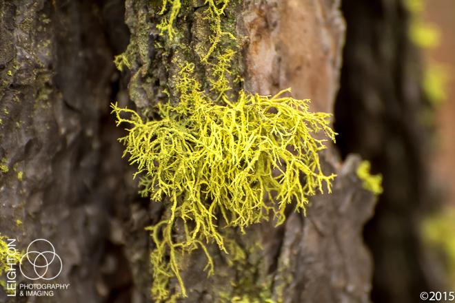 Wolf Lichen (Letharia vulpina)