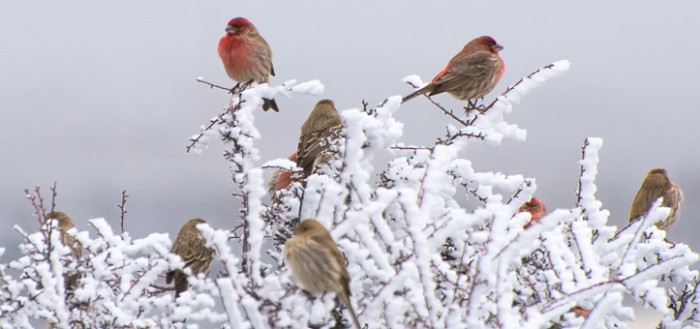 House Finches and Hoar Frost