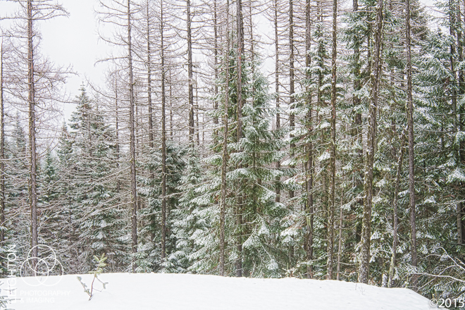 Silent Forest in Winter