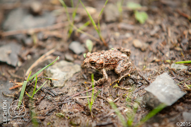 Western Toad