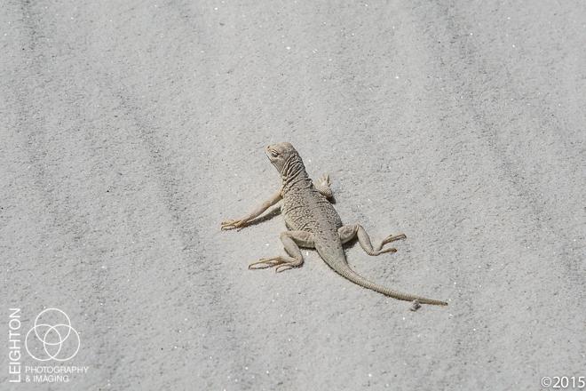 Bleached Earless Lizard