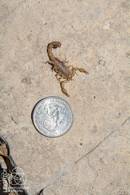Lesser Stripetail Scorpion