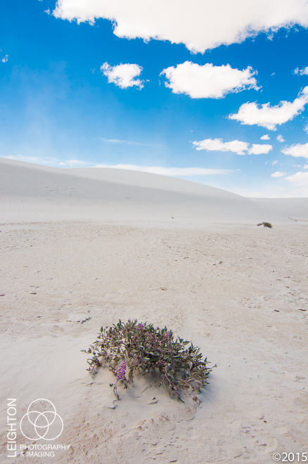 Sand Verbena in White Sands, New Mexico