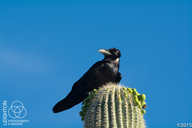 Chihuahuan Raven on a Saguaro