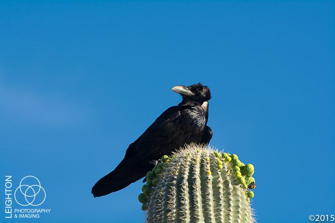 Chihuahuan Raven on a Saguaro