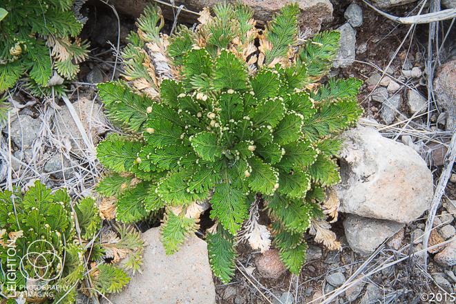 Resurrection Moss