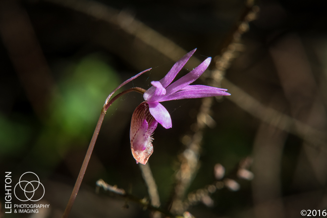 Western Fairy-Slipper (Calypso bulbosa var. occidentalis)