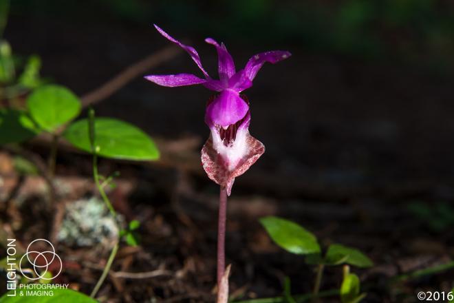 Western Fairy-Slipper (Calypso bulbosa var. occidentalis)