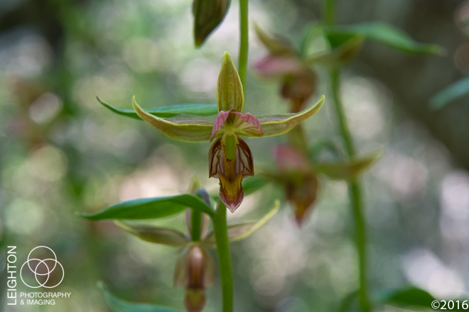 Giant Helleborine Orchid