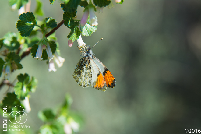 Orangetip Butterfly