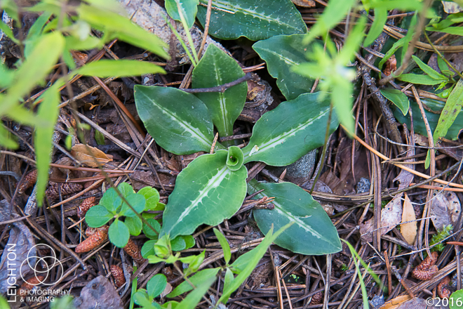 Western Rattlesnake Plantain Orchid