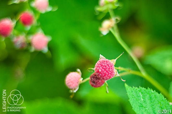 Ripe Thimbleberry