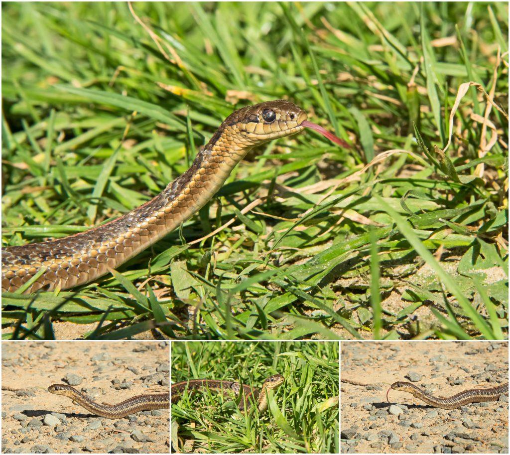 Northwestern Garter Snake (Thamnphis ordinoides)
