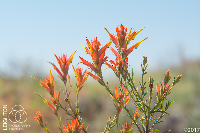 Wyoming Indian Paintbrush (Castilleja linariifolia)