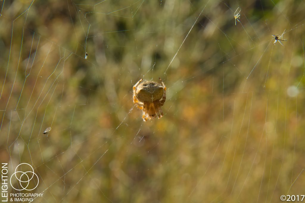 Cat-Faced Spider