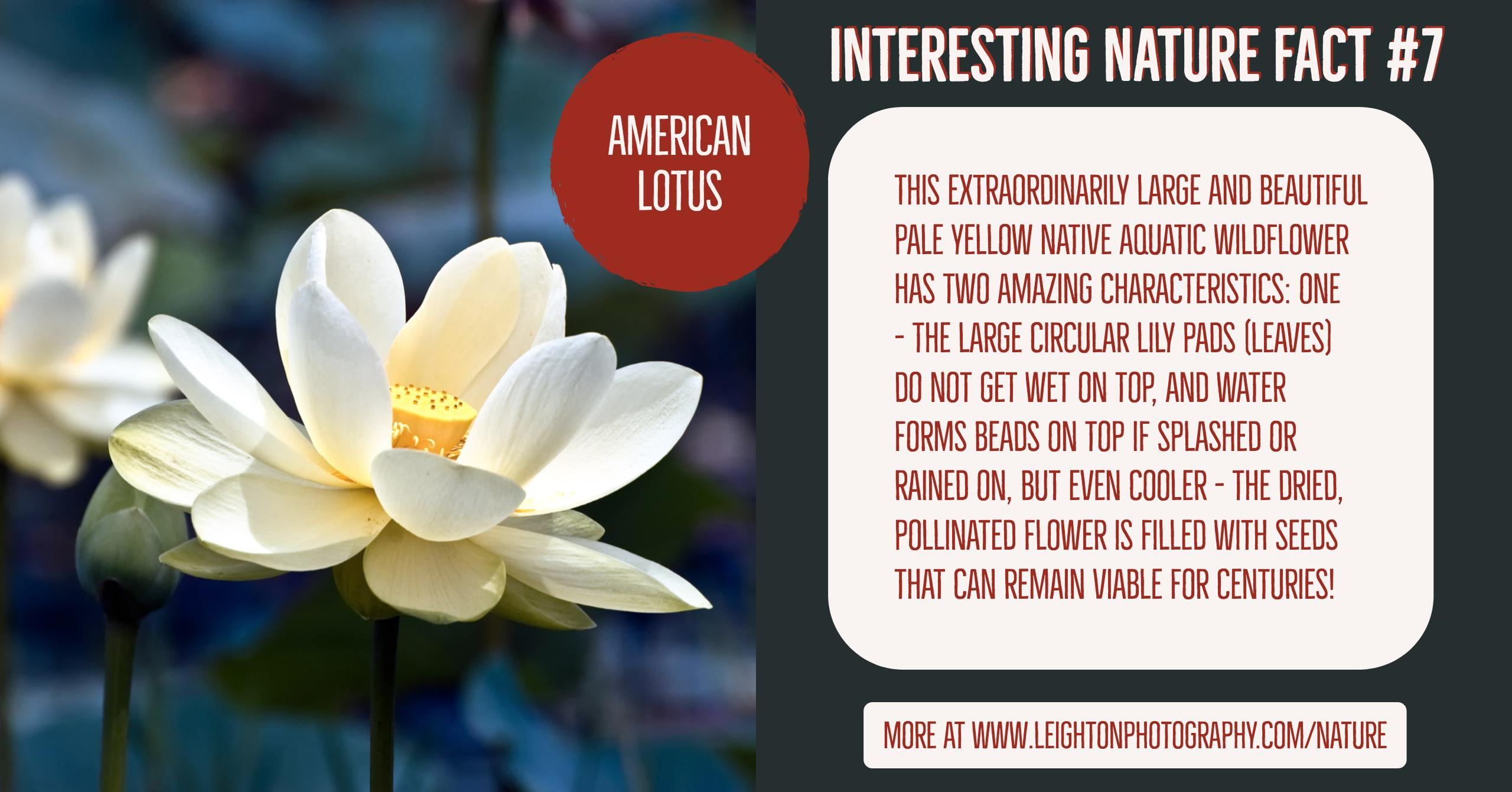 Interesting nature facts 7 american lotus mightylinksfo
