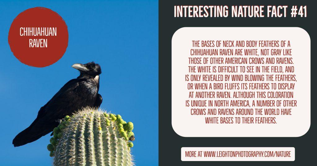 Chihuahuan Raven