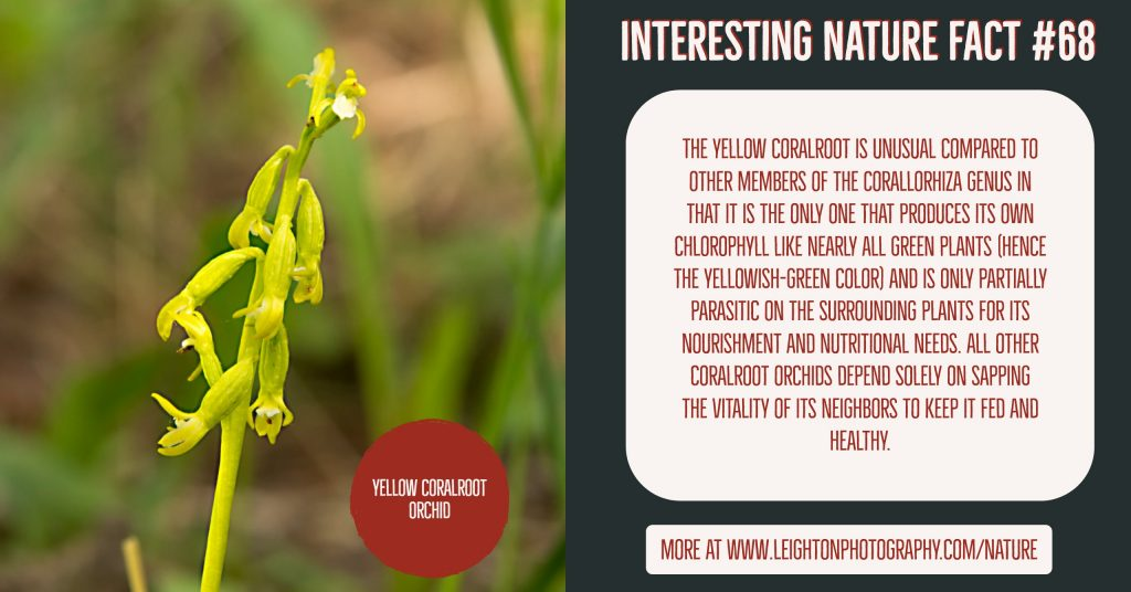 Yellow Coralroot Orchid