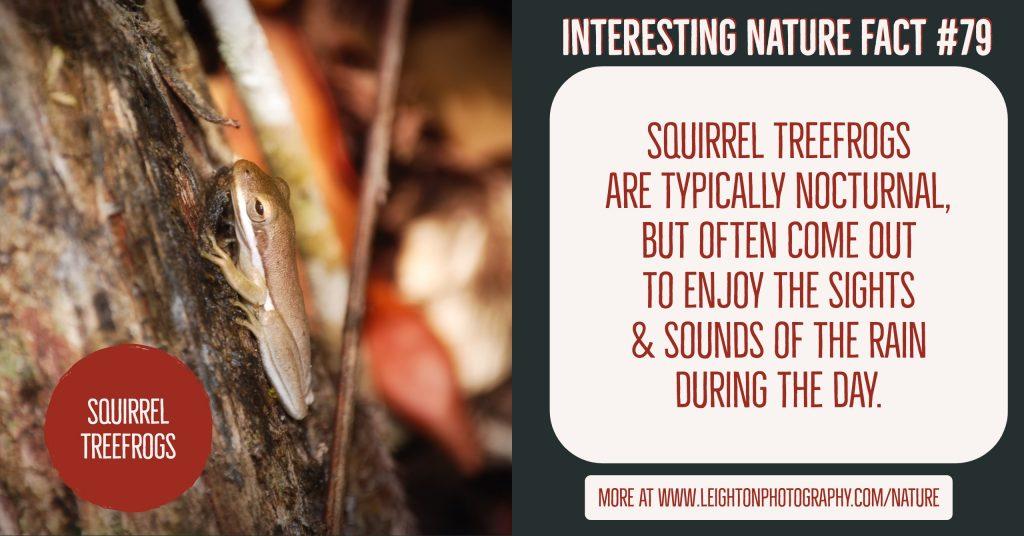 Squirrel Treefrogs