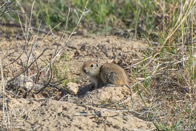 Townsend's Ground Squirrel