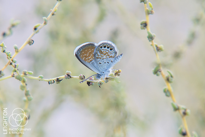 Western Pygmy-Blue