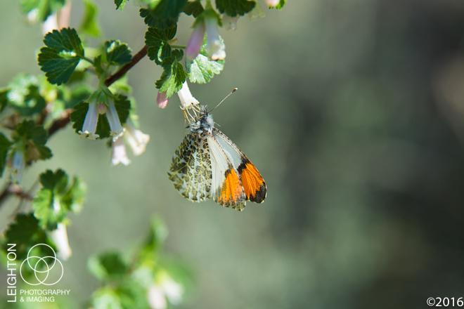 Male Stella Orangetip
