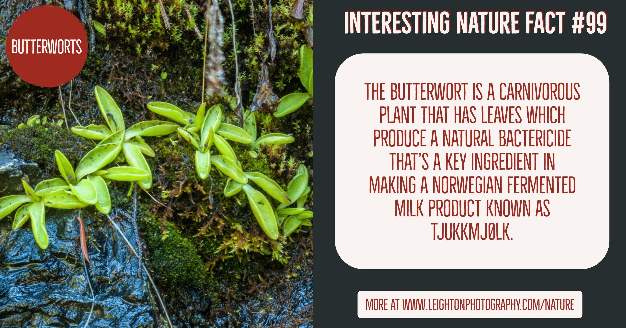 Butterworts